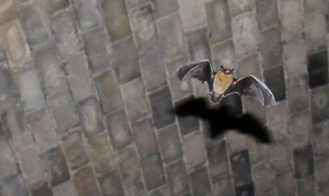 flying bat conservation website